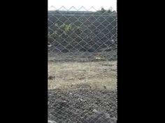 Lohman Salma Tavukçuluk sistemleri - YouTube