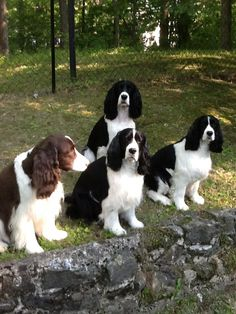 """Receive great tips on """"cocker spaniels"""". They are readily available for you on our site. Springer Spaniel Puppies, English Springer Spaniel, Cocker Spaniel, Spaniel Breeds, Dog Breeds, Cute Dogs And Puppies, Doggies, Field Spaniel, Pet Life"""