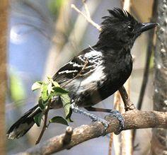 Black-backed Antshrike  (Thamnophilus melanonotus). Photo by Steve Bird.