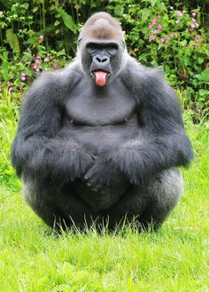 Naughty gorilla pulls out poker face at visitors,entertainment news