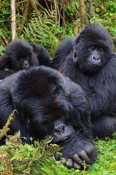 Gorillas in Rwanda - 5 Days - African Safari Consultants Gorilla Trekking, Parc National, Volcanoes, Local History, African Safari, Primates, Life Changing, Scriptures, Photo Credit