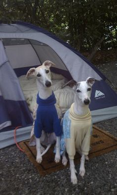 Whippet campers in PJs.
