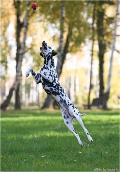 Dalmatian dog. And name it patch