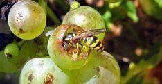 Cum împiedicăm viespile să vandalizeze via și livada Plantar, Salvia, Fruit Trees, Grape Vines, Good To Know, Plum, Organic, Vegetables, Flowers