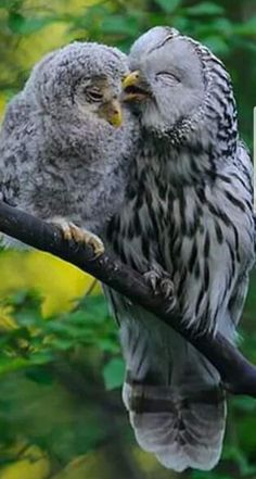 Ural owl and ch Cute Baby Animals, Animals And Pets, Funny Animals, Beautiful Owl, Animals Beautiful, Animals Amazing, Pretty Animals, Mon Zoo, Owl Pictures