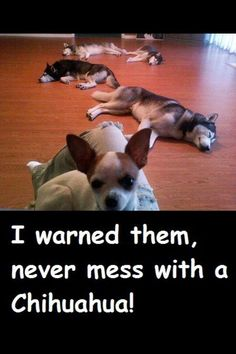 Chihuahua...never mess with one! They will put the big dogs in their place!