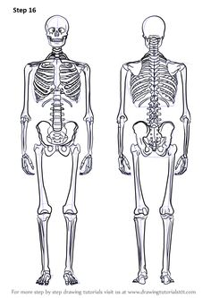 Learn How to Draw a Skeleton (Everyday Objects) Step by Step : Drawing Tutorials Human Anatomy Drawing, Body Drawing, Anatomy Art, Figure Drawing, Learn Drawing, Skeleton Drawings, Human Skeleton, Skeleton Art, Architecture Sketches