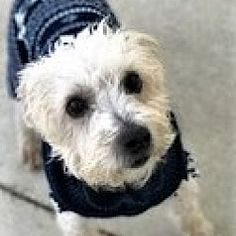 Pictures of Coco a Terrier (Unknown Type, Medium) for adoption in Lewis Center, OH who needs a loving home.