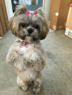 Coco 🐶 shih tzu princess