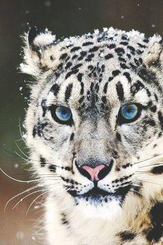 Snow Leopard Snow Leopard Wallpaper, Cats Wallpaper, Animal Wallpaper, White Wallpaper, Wallpaper Pictures, Iphone Wallpaper, Mobile Wallpaper, Wallpaper Gallery, Wallpaper Designs