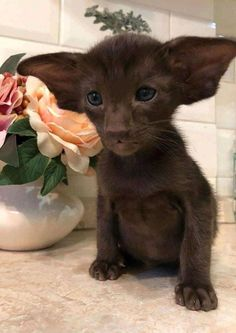 Like Other kittens, Duo loves to play, Chow down and quickly around the house. Unlike most kittens, Duo happens to … Cute Cats And Kittens, I Love Cats, Crazy Cats, Cool Cats, Kittens Cutest, Weird Cats, Fluffy Kittens, Ragdoll Kittens, Baby Cats