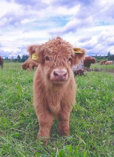 18 Adorable Cow Photos That Prove They Are Just Big Dogs - meowlogy Cute Baby Cow, Baby Cows, Cute Cows, Baby Farm Animals, Baby Elephants, Fluffy Cows, Fluffy Animals, Animals And Pets, Wild Animals