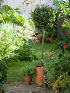 Topiary Bay Tree