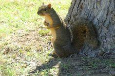 Fox Squirrel (Sciurus niger) Fox Squirrel, Kangaroo, Birds, Park, Nature, Animals, Animales, Animaux, Bird