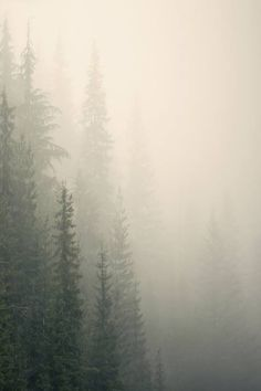 Forests | Majestic conifers on a hillside slope in heavy fog