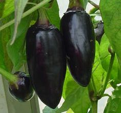 Black Hungarian chillies - beautiful, dark and mysterious. Pick them while they are this amazing aubergine colour, as they will later ripen to red.