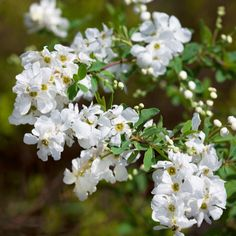508014 - Plants2Gardens Exochorda The Bride in 4 Litre Pot QVC Price: £25.98 + P&P: £4.95  Awarded the prestigious RHS Award of Garden Merit, this stunning plant produces star-shaped white flowers with five petals that produce a profusion of blooms that can also be trained against a wall.