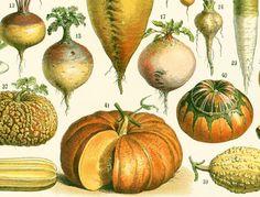 1897 Légumes, Grand format, Planche Originale Larousse, Plantes Potagères, Légumes anciens, Racines, Illustration Botanique 115 ans d'âge de la boutique sofrenchvintage sur Etsy