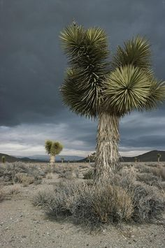 ✭ Stormy clouds brew over the Mojave Desert and beaked yucca plants - CA