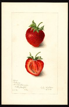 """Artist: Newton, Amanda Almira, ca. 1860-1943  Scientific name: Fragaria  Common name: strawberries  Variety: Gabara   """"U.S. Department of Agriculture Pomological Watercolor Collection. Rare and Special Collections, National Agricultural Library, Beltsville, MD 20705"""""""