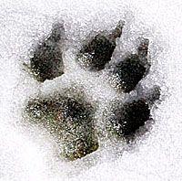 tiger paw tattoo snow - Google Search