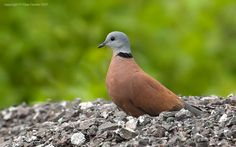 Streptopelia tranquebarica - Red collared dove - Tourterelle naine - ♂ (Indian subcontinent east to China and south toTaiwan, Philippines and SE Asia)