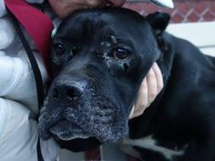 SAFE --- SUPER URGENT Manhattan Center  FANTA - A1020383 ***SAFER : EXP/NO CHILD***  FEMALE, BLACK / WHITE, CANE CORSO MIX, 8 yrs STRAY - STRAY WAIT, NO HOLD Reason STRAY Intake condition EXAM REQ Intake Date 11/11/2014, From NY 10452, DueOut Date 11/14/2014, Main Thread: https://www.facebook.com/photo.php?fbid=905810499431830
