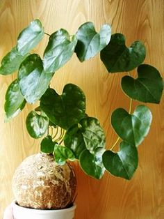 CAUDICIFORM Pyrenacantha malvifolia