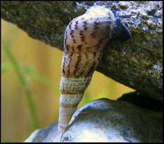 Malaysian Trumpet Snail .:. Melanoides tuberculata .:. Freshwater Aquarium Snail Species Information Page