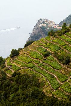 cinque terre vineyard....we will see this on our hike!