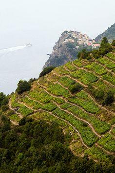 cinque terre vineyard.