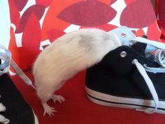 Smelling my shoes #aww #cute #rat #cuterats #ratsofpinterest #cuddle #fluffy #animals #pets #bestfriend #ittssofluffy #boopthesnoot