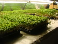 Growing and selling Micro Greens: An example of an urban farming business