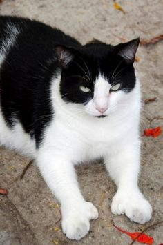 Hemingway Kitties!! 18 Adorable Polydactyl  Cats That Can Give You The Thumbs Up!