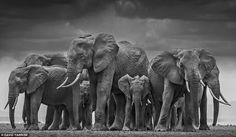 Elephants circle around to protect their young in this picture taken on the Kenyan/Tanzanian border by the world-renowned snapper