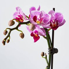 Create high style with houseplants by placing an elegant orchid in indoor decor. Orchids add instant beauty to all spaces - from cool minimalist, to warm farmhouse & beyond. Moth Orchid, Phalaenopsis Orchid, Orchid Plants, Floral Wedding, Wedding Flowers, Blooming Orchid, Plant Delivery, Pink Orchids, Plants Online