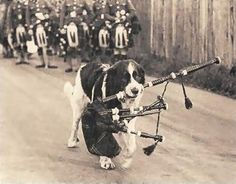 """Mascot of the Canadian Scotttish Pipe Band- """"Wallace""""  In June 1940, during WWII, Wallace (a St. Bernard puppy), the Regimental Mascot 'enlisted'. A year later, the 1st. Battalion boarded ship for England and troops smuggled Wallace with them.   The ship docked at Glasgow and the Royal Scots adopted and kept Wallace in Edinburgh Castle during the war and was reunited with remaining troops and returned home to Canada.   It's been a unit tradition to have a St Bernard for the Regimental…"""