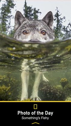 What a cool pic!!! Wolf in water to see what's also in the water. Wow!