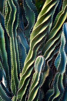spiraling cacti
