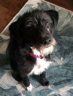 Available Pets At Carolina Poodle Rescue In Spartanburg North