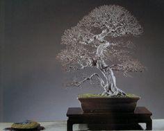 5 X European Hornbeam Carpinus betulus bonsai trees best offer PP Pond Plants, Garden Plants, House Plants, Live Aquarium, Planted Aquarium, Pre Bonsai, Bonsai Trees, Silver Fir, Casual