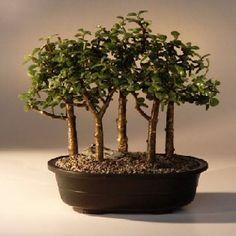 Baby Jade Bonsai Tree Five Tree Forest Group (Portulacaria Afra) Mothers Day Sale Jade Bonsai, Bonsai Ficus, Buy Bonsai Tree, Bonsai Tree Care, Bonsai Tree Types, Indoor Bonsai Tree, Succulent Bonsai, Juniper Bonsai, Bonsai Plants