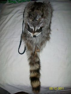 Raccoon skin bag. What else is there to say?