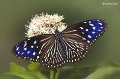 Butterflies of Singapore: Life History of the Striped Blue Crow  (Euploea mulciber mulciber) - female