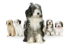 Bearded collie could be my dog carson Beautiful Dogs, Animals Beautiful, Cute Animals, Animals Amazing, Cute Puppies, Cute Dogs, Dogs And Puppies, Doggies, Tibet Terrier