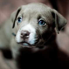 Surrender to the Hypnotic Eyes of These Weimaraner Puppies - Dogster