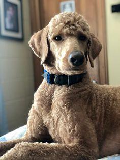 Goldendoodles, Labradoodle, Poodle Grooming, Dog Grooming, I Love Dogs, Cute Dogs, Goldendoodle Haircuts, Poodle Haircut, Poodle Cuts