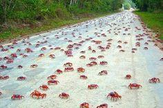 Migracion de cangrejos