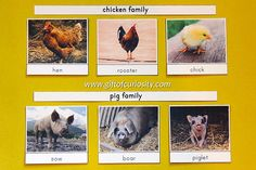 Farm Animal 3-Part Cards with a basic option for common farm animal names and a families option to learn names for the mother, father, and baby in each farm animal family. These Montessori farm animal cards are versatile and can be used in so many ways for a farm unit or for inspiring a love of animals. || Gift of Curiosity