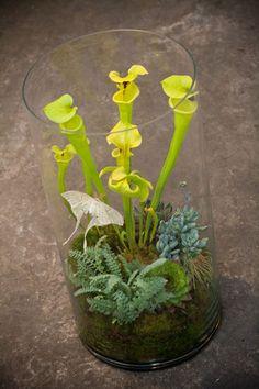 Lila B. Designs - Homage to the Curious Weird Plants, Cool Plants, Terrarium Plants, Terrarium Ideas, Moss Plant, Terrarium Wedding, Terra Cotta, Fairy Garden Supplies, Pitcher Plant